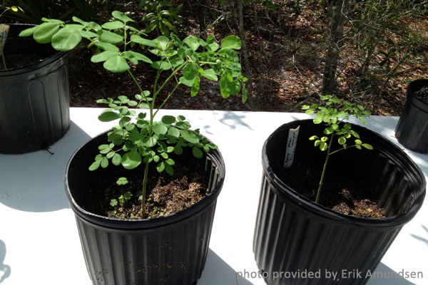 heart-moringa-treated-with-mycorrhizal-fungi