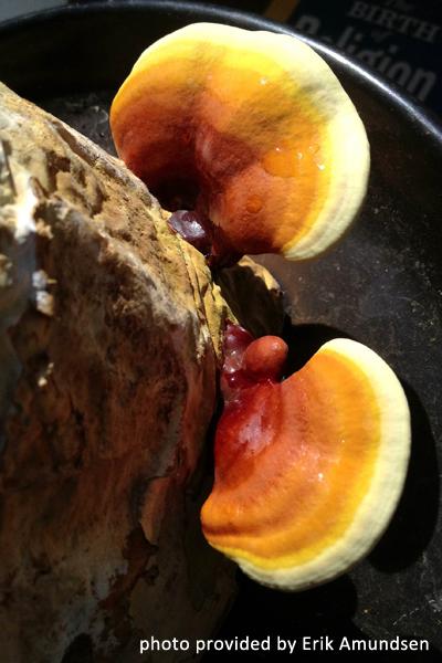 heart-reishi-mushroom