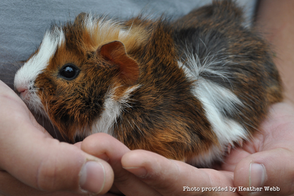 heart-guinea-pig-abyssinian