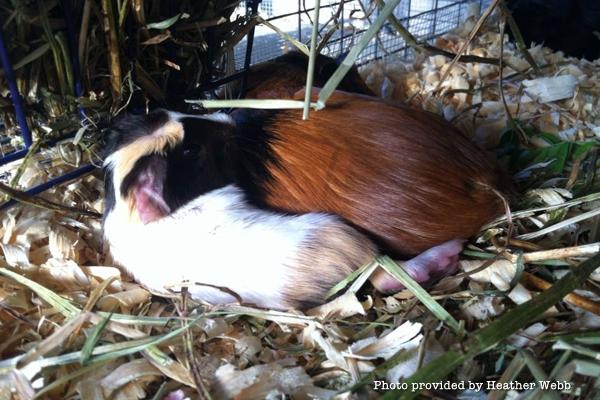 heart-guinea-pig-pup-bedding