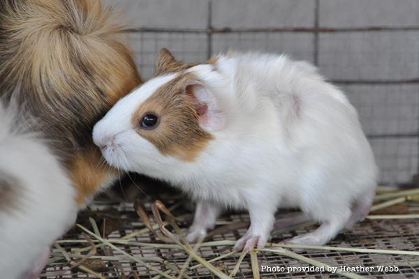 heart-guinea-pigs-baby