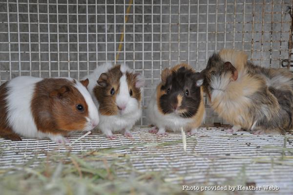 heart-guniea-pigs-adolescent-males