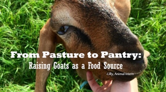 From Pasture to Pantry: Raising Goats as a Food Source