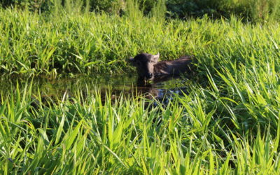 Why A Water Buffalo?